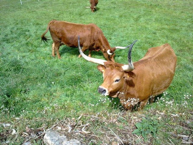bull horn para hipsters